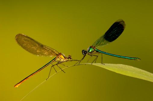 とんぼ「Dragonfly (calopteryx splendens) on leaf」:スマホ壁紙(1)