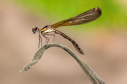 とんぼ「Dragonfly on a plant, Sukabumi, West Java, Indonesia」:スマホ壁紙(7)