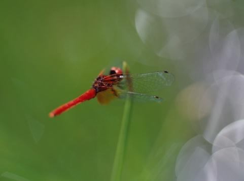 とんぼ「Dragonfly on plant」:スマホ壁紙(19)