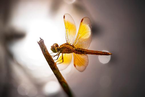 とんぼ「Dragonfly on a branch, Jakarta Timur, Indonesia」:スマホ壁紙(5)