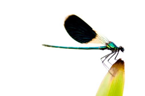 Dragonfly「Dragonfly on a blade of grass, Gostomeli, Kiev, Ukraine」:スマホ壁紙(2)