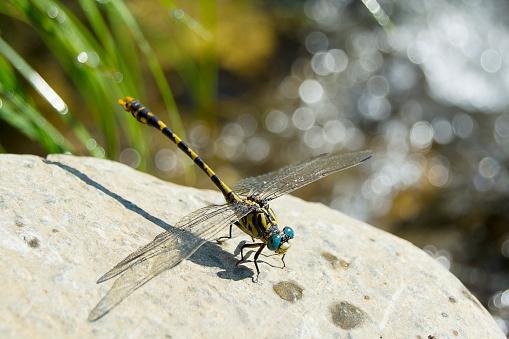 Defocus「Dragonfly on a rock」:スマホ壁紙(6)