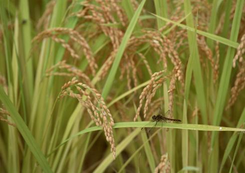 とんぼ「Dragonfly on rice plant」:スマホ壁紙(11)