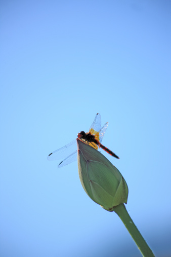 Water Lily「Dragonfly on a lotus bud, Fukushima Prefecture, Fukushima, Japan」:スマホ壁紙(2)