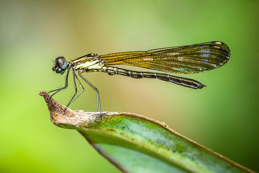 とんぼ「Dragonfly on a leaf, Sukabumi, West Java, Indonesia」:スマホ壁紙(6)