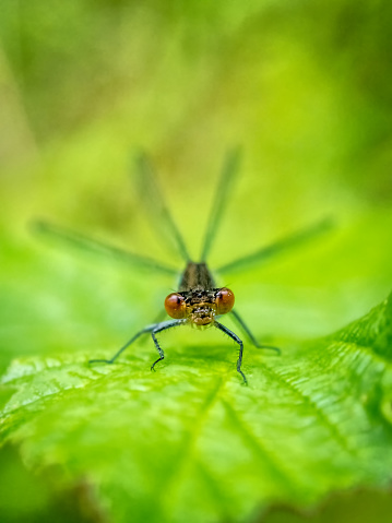 虫・昆虫「Dragonfly on a leaf, Bulgaria」:スマホ壁紙(2)