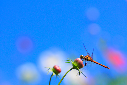 とんぼ「Dragonfly on Cosmos Bud」:スマホ壁紙(11)