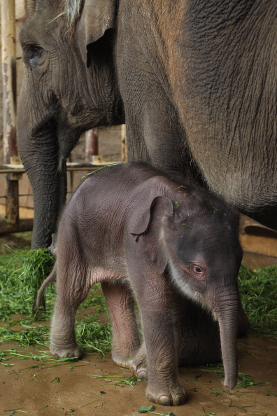 Confined Space「Two-Day Old Baby Elephant Presented At Berlin Zoo」:写真・画像(11)[壁紙.com]