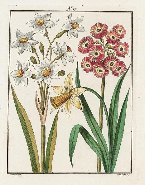 スイセン「The Daffodil. The Hyacinth. The Auricle. From Die Welt In Bildern. Band 3. Baumeister. Vienna. 1790.」:写真・画像(14)[壁紙.com]