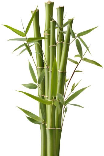 Grass Family「Bamboo Sparkler」:スマホ壁紙(0)