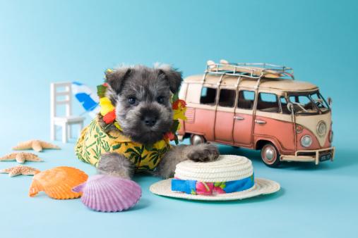 Waist Up「Miniature Schnauzer Puppy and Summer Vacation」:スマホ壁紙(2)