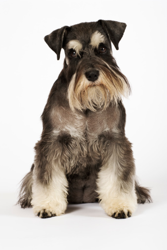 Full Length「Miniature Schnauzer sitting, studio shot」:スマホ壁紙(5)