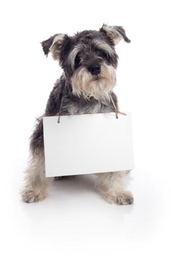 Schnauzer「Miniature Schnauzer Pet Dog Holding Sign on White Background」:スマホ壁紙(16)