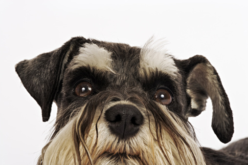Tame「Miniature Schnauzer. Close-up of face. German breed of dog, which name derived from the German word for muzzle. Studio shot against white background. Owned by Louise Thompson of South Africa.」:スマホ壁紙(16)