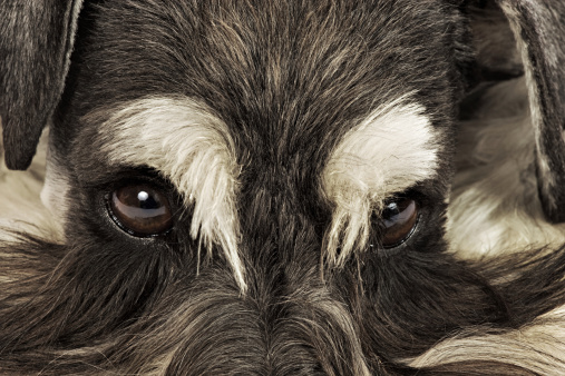 Tame「Miniature Schnauzer. Close-up of face. German breed of dog, which name derived from the German word for muzzle. Studio shot against white background. Owned by Louise Thompson of South Africa.」:スマホ壁紙(17)