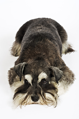 Tame「Miniature Schnauzer. German breed of dog, which name derived from the German word for muzzle. Owned by Louise Thompson of South Africa.」:スマホ壁紙(19)