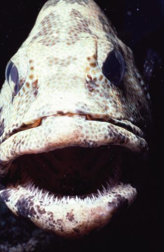 Ugliness「Greasy grouper (Epinephelus tauvina), close-up」:スマホ壁紙(16)