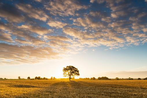 Single Tree「Tree in barley field at sunrise.」:スマホ壁紙(18)