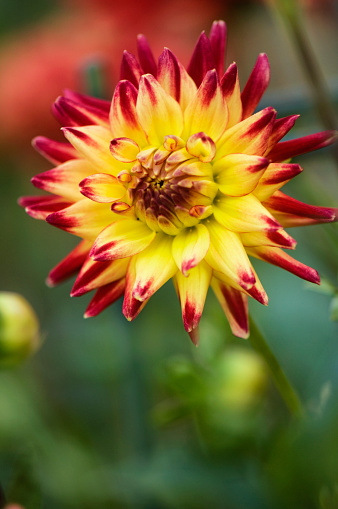 flower「Dahlia 'MacAllister's Pride' Flower Close-up」:スマホ壁紙(7)