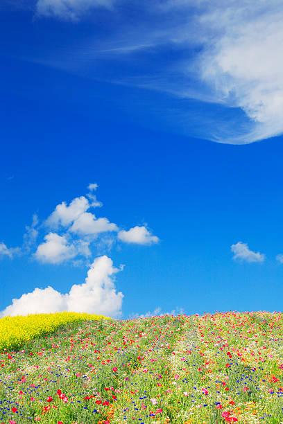 Poppy and oilseed rape, Hokkaido Prefecture, Japan:スマホ壁紙(壁紙.com)