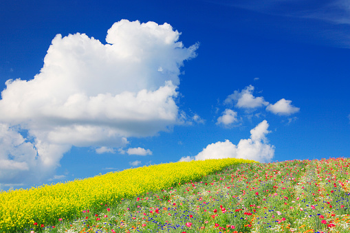 アブラナ「Poppy and oilseed rape, Hokkaido Prefecture, Japan」:スマホ壁紙(3)