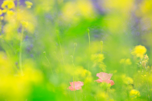 アブラナ「Poppy and oilseed rape, Hokkaido Prefecture, Japan」:スマホ壁紙(13)