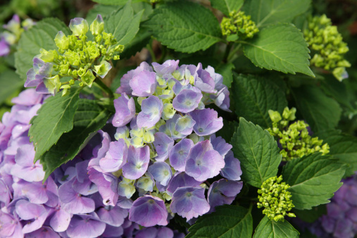 あじさい「新鮮なパープルアジザイフラワー、グリーンの葉と花の芽」:スマホ壁紙(8)