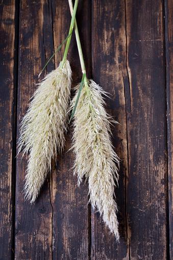 Pampas「Two inflorescences of Pampas Grass on dark wood」:スマホ壁紙(16)