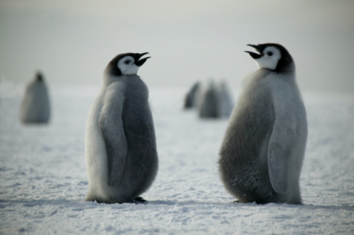 Beak「Two Emperor penguin (Aptenodytes forsteri) chicks, side view」:スマホ壁紙(17)