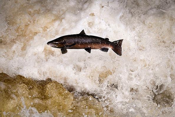 Fish「Salmon Leaping At Buchanty Spout」:写真・画像(17)[壁紙.com]