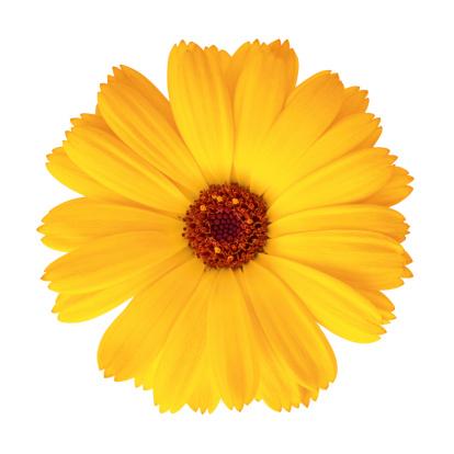 花頭「マリーゴールド-キンセンカ officinalis」:スマホ壁紙(8)