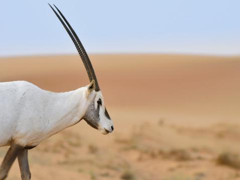 Antelope「White Oryx In Dubai」:スマホ壁紙(7)