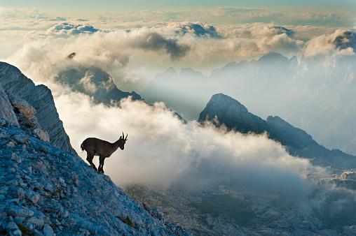Goat「Rock goat on the mountain peak」:スマホ壁紙(17)