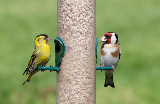 Eating「Male Siskin and Goldfinch on seed feeder」:スマホ壁紙(18)