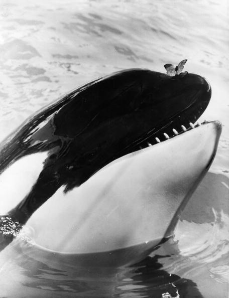 Killer Whale「Butterfly On A Whale」:写真・画像(14)[壁紙.com]