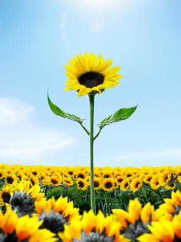Sunflower「Tall sunflower among small sunflower」:スマホ壁紙(12)
