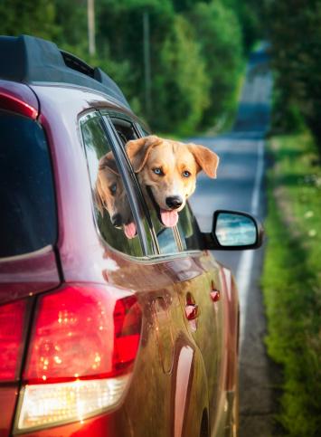 Eastern Townships「Happy dog peeking out of car window」:スマホ壁紙(6)