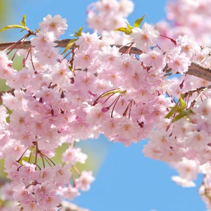 桜「日本の桜の木の花-VII」:スマホ壁紙(4)