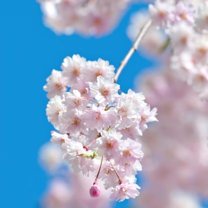 桜「日本の桜の木の花-13」:スマホ壁紙(11)