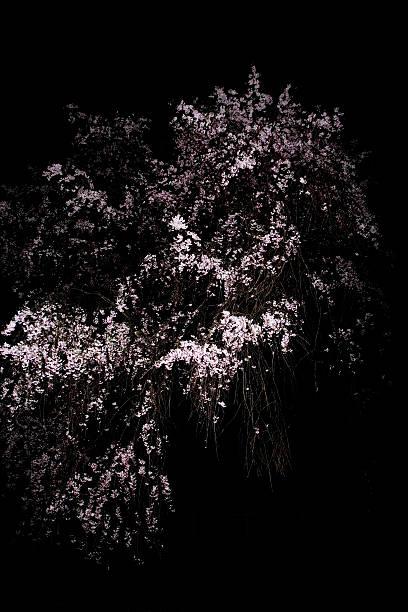 Japanese cherry tree (Prunus spachiana) in bloom at night:スマホ壁紙(壁紙.com)