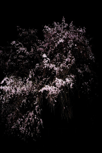 夜桜「Japanese cherry tree (Prunus spachiana) in bloom at night」:スマホ壁紙(17)