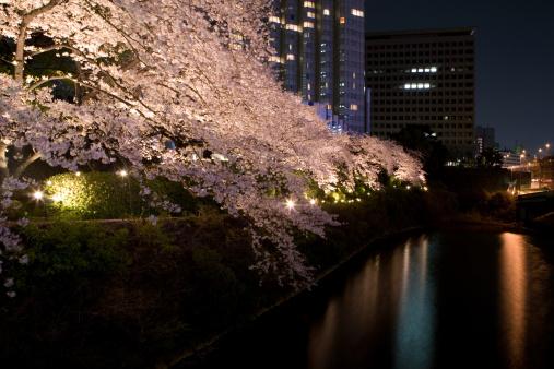 夜桜「tokyo cherry trees」:スマホ壁紙(1)