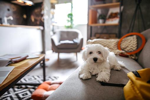 Dog Agility「Fluffy Maltese dog sitting on sofa」:スマホ壁紙(9)