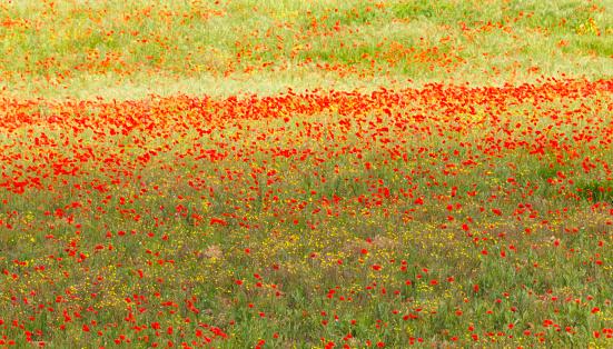 恋愛「Painterly effect on photograph of poppies in Italian meadow, Italy」:スマホ壁紙(5)