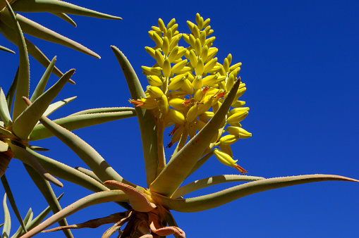 African Aloe「Qiver tree or Kokerboom blossom, Northern Cape Province, South Africa」:スマホ壁紙(17)