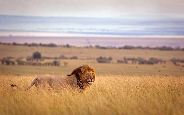 Lion in savannah:スマホ壁紙(壁紙.com)