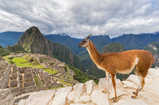 Camel Family「Peru, Andes, Urubamba Valley, llama at Machu Picchu with mountain Huayna Picchu」:スマホ壁紙(18)