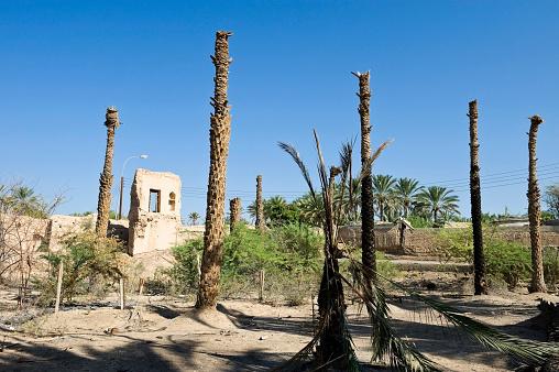 Grove「Dead date palm tree in grove, Al-Mudairib, Oman」:スマホ壁紙(0)