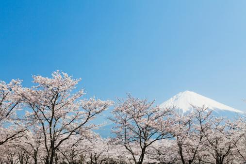 Volcanic Landscape「Mt Fuji & Cherry Blossoms」:スマホ壁紙(6)