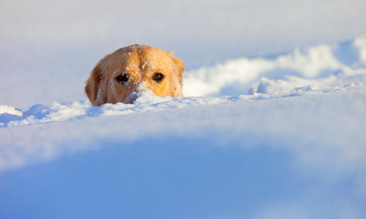 カメラ目線「A Dog Buried In Snow With His Head Peeking Out」:スマホ壁紙(1)